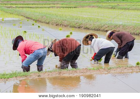 CHIANG RAI THAILAND - JUNE 16 : Unidentified farmer working rice planting in the field on June 16 2017 in Chiang rai Thailand.