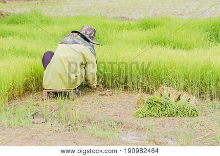asian male farmer with Thai traditional hat working paddy cultivation in the rice field Thailand