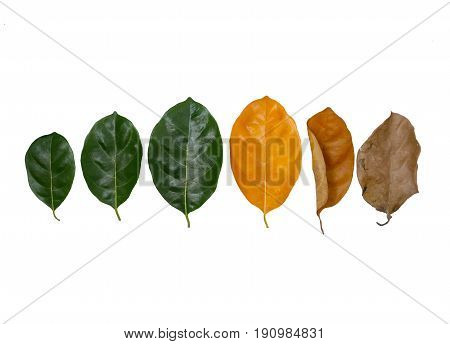 Leaves of different age on white background. Concept of aging growth death.