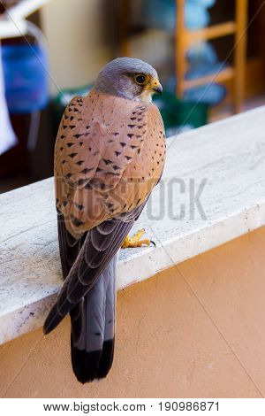 Close up of a common kestrel perched on a parapet