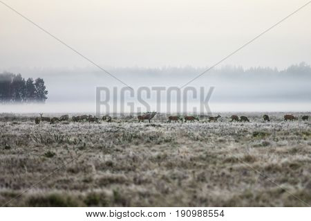 A herd of deer early in the misty morning walks on the field during the rut. Belarus Naliboki forest