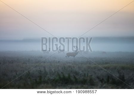Two males of a red deer and several doe walk around the field in a foggy morning during the rut. Belarus Naliboki forest