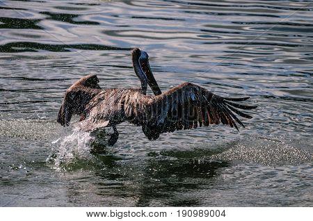 A Pelican landing on water. Near Moss Landing State Wildlife Area