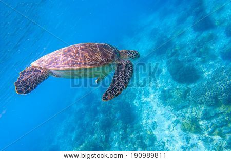 Green turtle in blue water. Seashore lagoon and tortoise. Wild green turtle in tropical lagoon. Sea ecosystem with animals and seaweeds. Ocean environment. Tropical marine wildlife. Endangered species