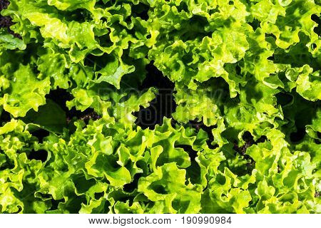 Fresh Ripe Green Salad