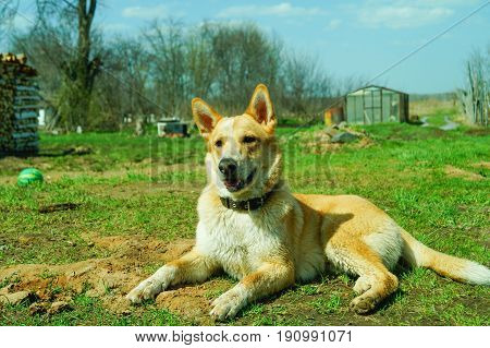 Dog laika lies on a meadow in sunny day
