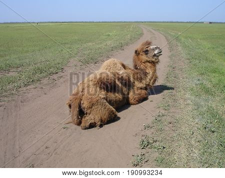 Alone wild camel sitting on the road.