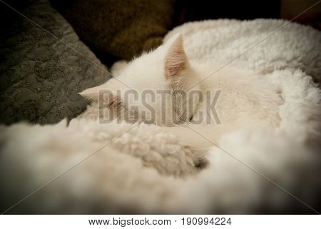 A napping white kitten curled up on a white blanket.