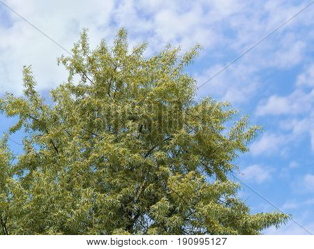 Flowering Russian olive tree canopy against the blue sky (Elaeagnus angustifoilia)