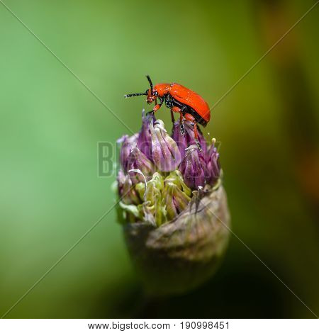Red beetle leaf beetle with a shiny peacock sits bud of wild onion