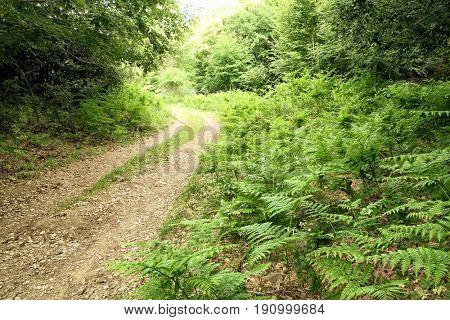 woods dirt road trough lush ferns in Nebrodi Park, Sicily