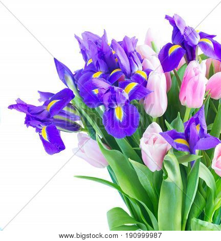 Bunch of blue irises and pik tulips close up isolated on white background