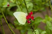 Male Lemon Emigrant (Form-alcmeone) butterfly is feeing on red snakeweed (Stachytarpheta indica) poster