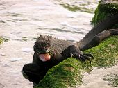 A marine iguana eating breakfest in the Galapagos islands. poster
