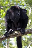 female howler monkey with child at community baboon nature preserve in belize. poster