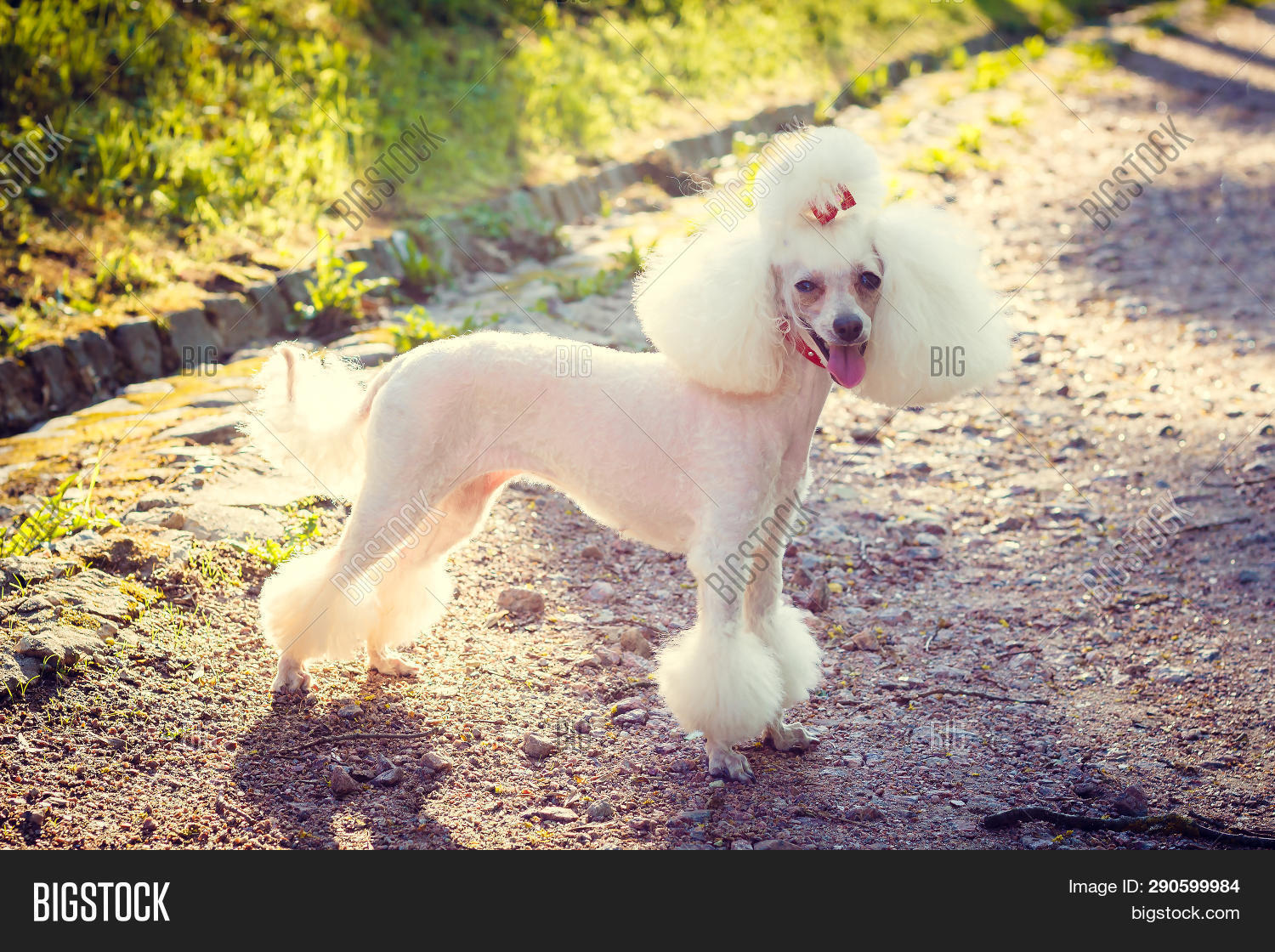 Stupendous Dog Poodle Haircut Image Photo Free Trial Bigstock Natural Hairstyles Runnerswayorg
