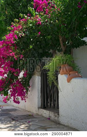 Bougainvillaea Blooming Bush With White And Pink Flowers On A Stone White Fence In Summer