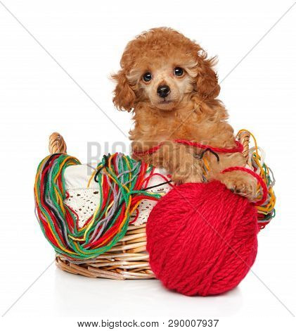 Toy Poodle Puppy In A Wicker Basket With Knitting Threads. Baby Animal Theme