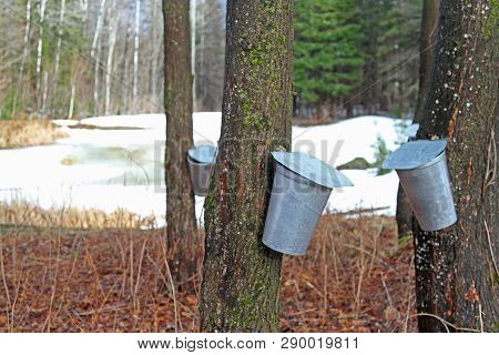 Pails On A Maple Tree For Collecting Sap In The Early Spring