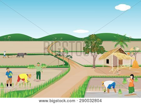 Farmer Transplant Rice Seeding In Paddy Field