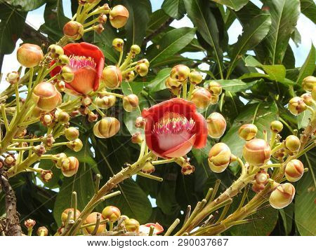 Cannonball Tree Flower (couroupita Guianensis), An Exuberant Flower, With Many Buds And Green Leaves
