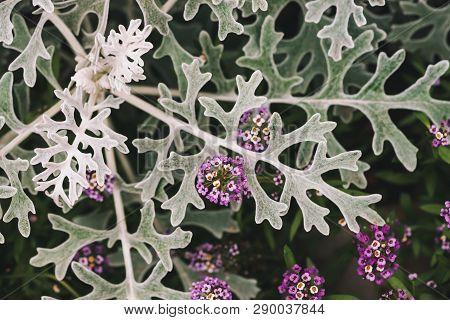 Beautiful Small Flowers Of Alyssum Among Gray Green Leaves Of Cineraria In Macro. Lobularia Maritima