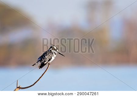 Male pied kingfisher, Ceryle Rudis, on a branch over Lake Naivasha, Kenya. Males have an extra black band on the chest, which is missing in females The only black and white kingfisher in East Africa.