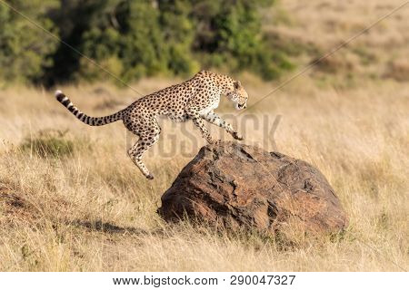 Young adult cheetah leaps onto a rock in the Masai Mara. This big cat will often use a rock or termite mound as a vantage point or to scent mark.