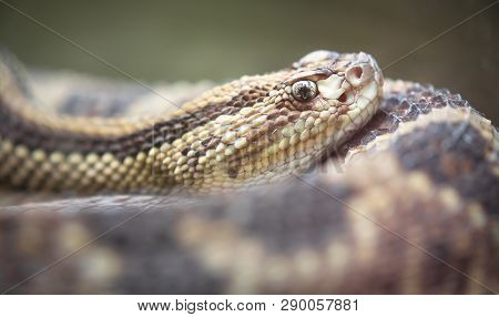 Neotropical rattlesnake (Crotalus durissus) resting in Costa Rica. poster