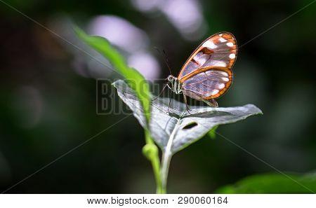 White-spotted Glasswing Butterfly (greta Sp., Probably Greta Nero Or Greta Annette), Tapanti-macizo