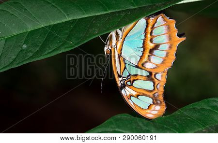Malachite Butterfly (siproeta Stelenes) Underneath A Leaf, Costa Rica.