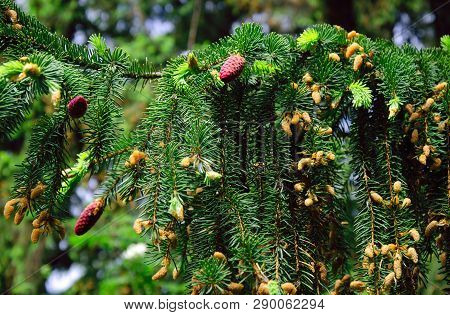 Flowering Green Spruce Branches In The Spring