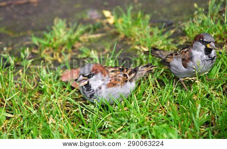 Two Litle Sparrows On The Green Grass