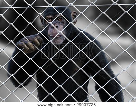 3d Rendering Of A Sad Chimpanzee Standing Caged Behind A Chain Link Wire Steel Metal Fence, Looking