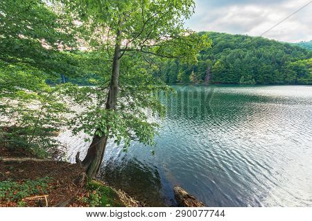 Beautiful Scenery Near The Lake Among Beech Forest With Huge Tree On The Shore. Cloudy Summer Landsc