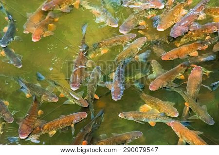 Trout Fishing Background. Fish Swimming In Almost Transparent Water Of A Natural Lake. View From Abo