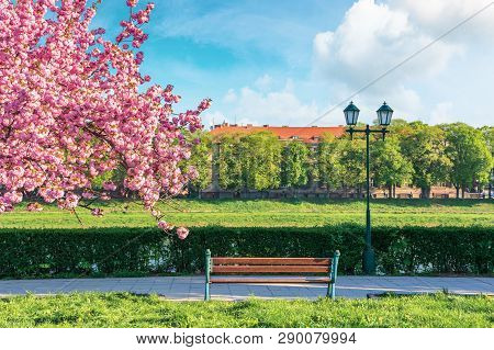 Branches Of Sakura Tree In Blossom Above The Bench And Lantern Near The Walkway. Sunny Springtime Fo