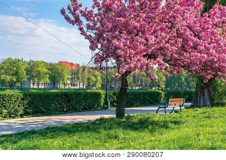 Branches Of Sakura Tree In Blossom Above The Bench The Walkway. Grassy Lawn With Dandelions. Sunny S