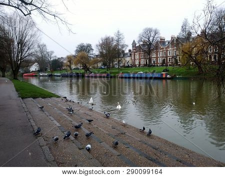 Cambridge England - Circa December 2018 - Pigeons And Swans On The River Cam In Cambridge England