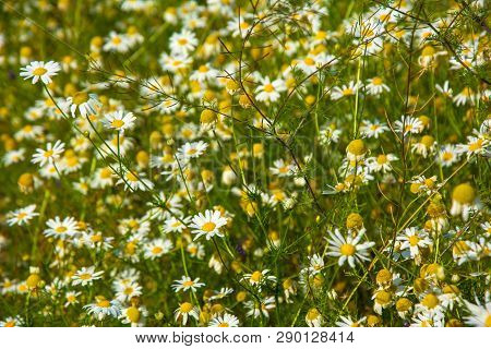 Flowering. Chamomile. Blooming Chamomile Field, Chamomile Flowers