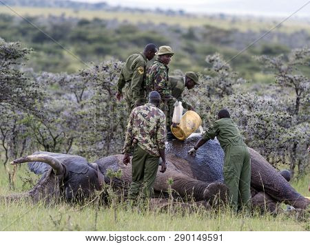 Elephant Injured By Poachers, Receiving Treatment To Remove Gunshot, Elephant Sedated Whilst Rangers