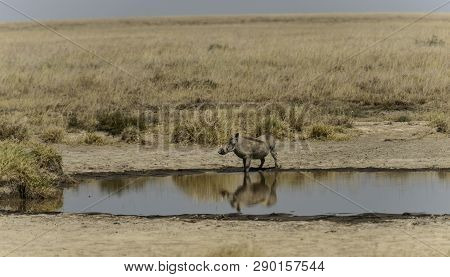 Common Warthog ( Phacochoerus Africanus ) Standing In Water Looking Left And Mirror Reflection In Wa
