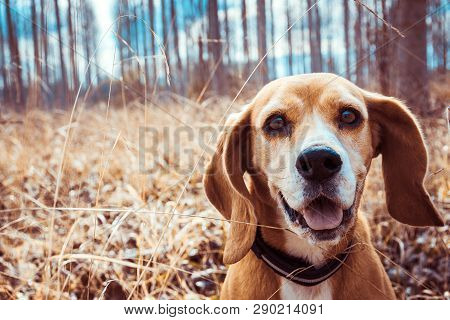 Funny Portrait Of Pure Breed Beagle Dog. Big Ears Listening Or Hear Concept. Beagle Close Up Face Sm