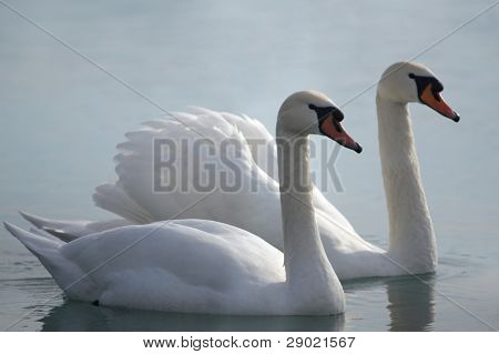 Two swans in love swimming together