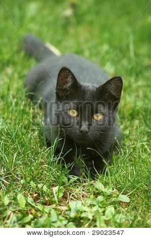 Black kitten in the grass