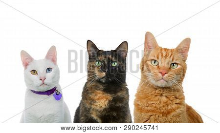 Three Cats In A Row Isolated On White. White Cat With Heterochromia, Black And Orange Cats.