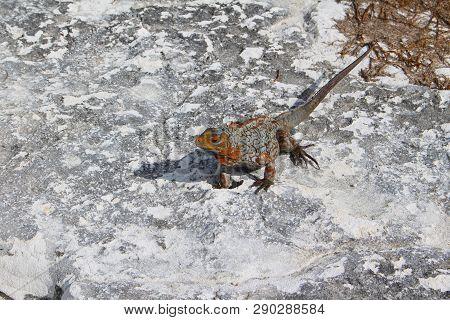 Iguana in a Caribbean island, Sandy Cay, Exumas, Bahamas