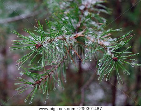 Spring. Icy Branches Of Spiny Green Pine.