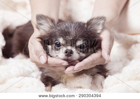 Funny Chihuahua Dog,happy Brown Chihuahua Dog With Hand,happy Dogs On The Carpet,closeup Portrait Of