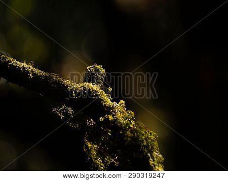 Beautiful Green Moss On The Tree Branch Moss Closeup, Macro. Beautiful Background Of Moss For Wallpa